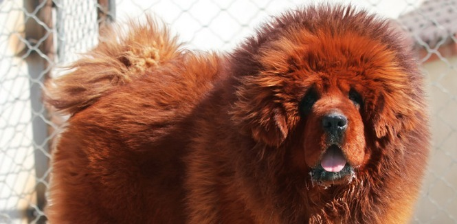 Which Dog Is The New Luxury Commodity Creating Animal