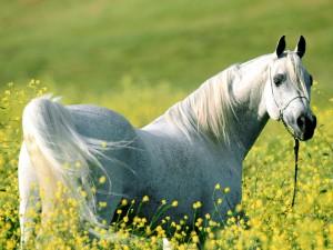 HORSE -  ARABIAN