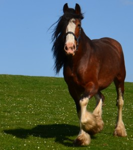 HORSE - CLYDESDALE