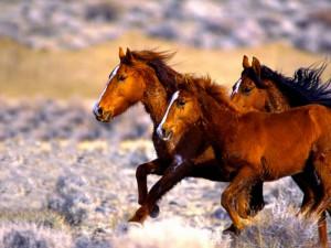 HORSE - MUSTANGS