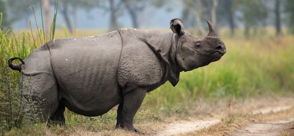 Indian Rhino 1 Horn Creating Animal Awarenesscreating