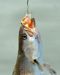 fish - pain