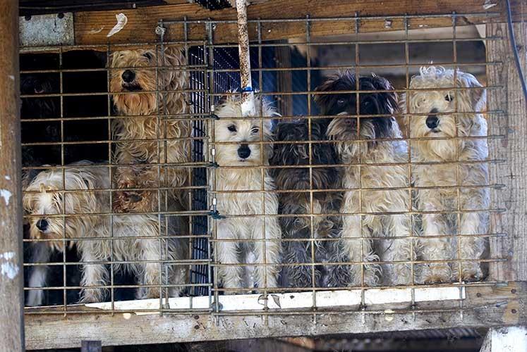 Dog Breeding Abuse