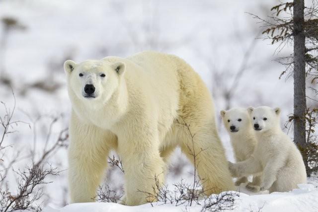 POLAR BEAR LOSE AT CITES