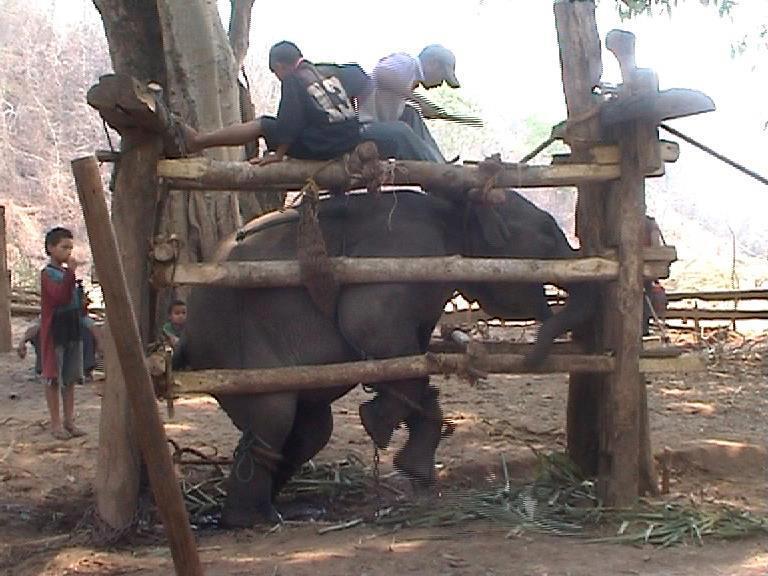 BREAKING A BABY ELEPHANT