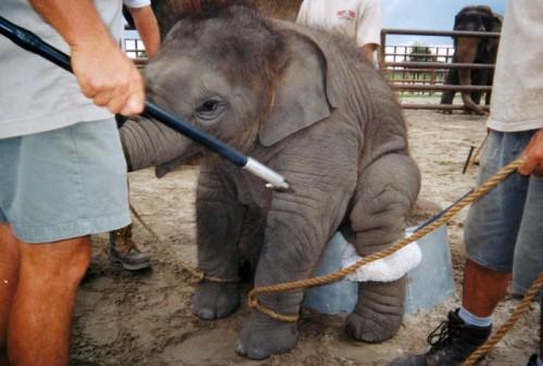 CIRCUS ELEPHANT IN TRAINING