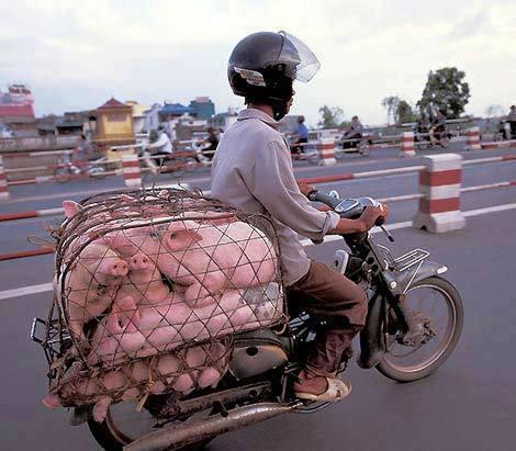 PIGS TO THE SLAUGHTER