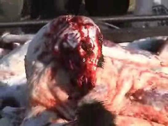 Racoon Dog - shocking
