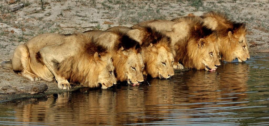 LION 58