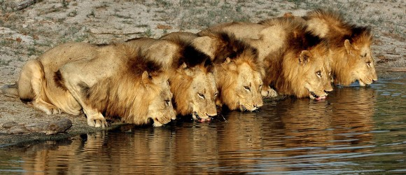Lion Hunting in Africa