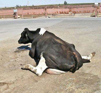 COW - DOWNED