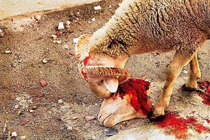 ANIMAL - CRUELTY SHEEP