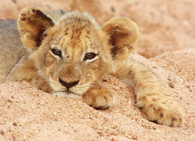 LION 61
