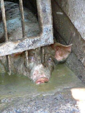 Pig Tales by Iggy Oink – 19Creating Animal Awareness