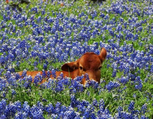 COWS - FLOWERS