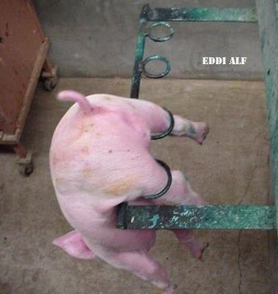 PIG 21
