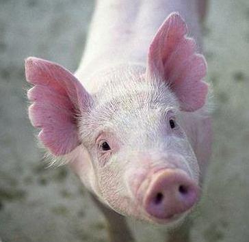 PIG 2B
