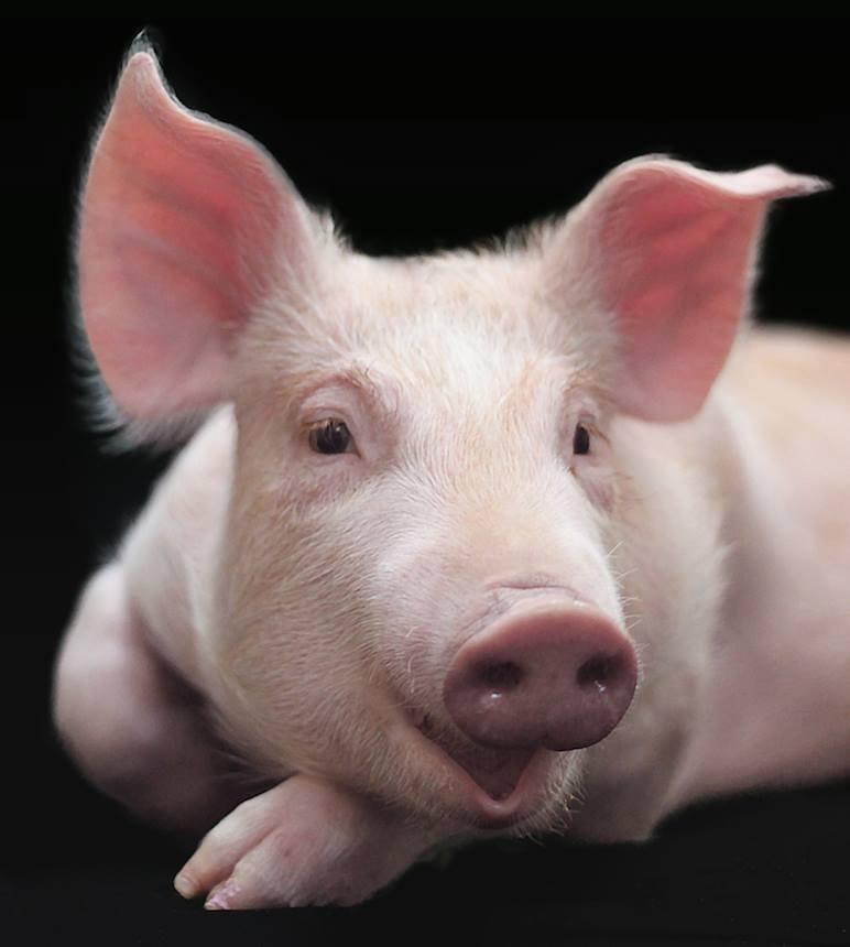 PIG 38