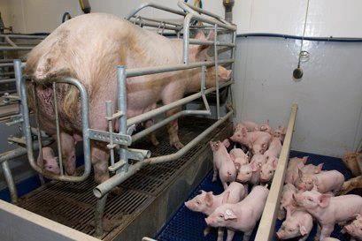 PIGS - CRATE