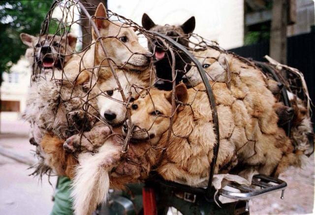 DOGS - CHINA 2