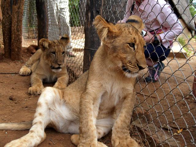 LION 49