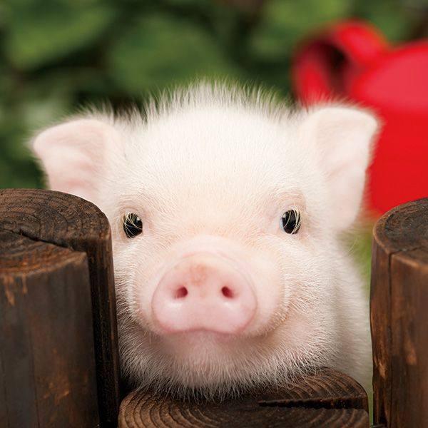 PIG - BABY 3
