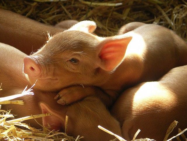 PIGS - BABIES 2