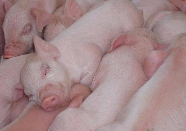 PIGS - BABIES SLEEPING