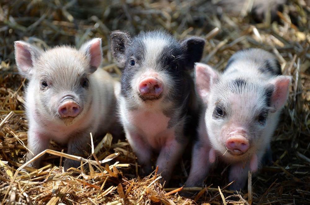 PIGS - TRIO