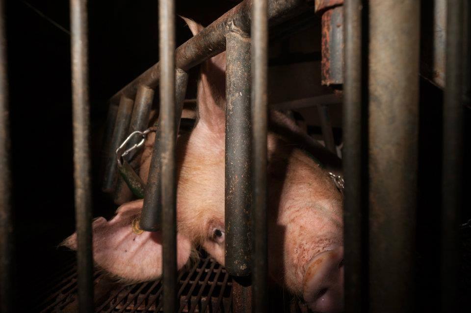 PIG 24