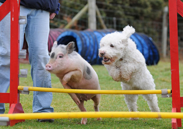 PIG - DOG