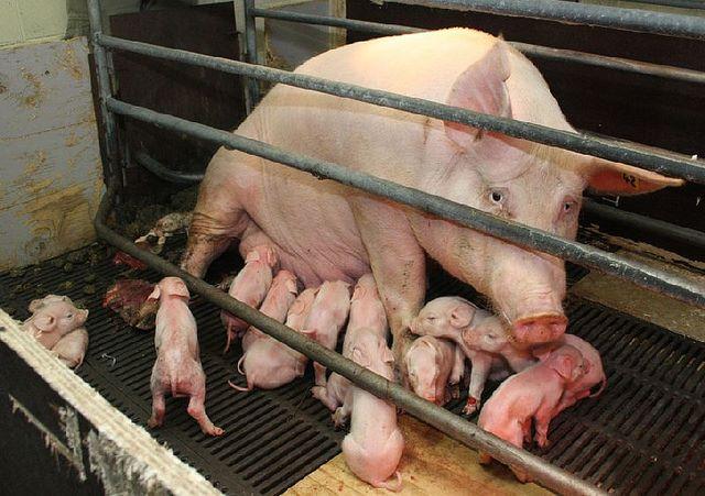 PIG - PIGLETS
