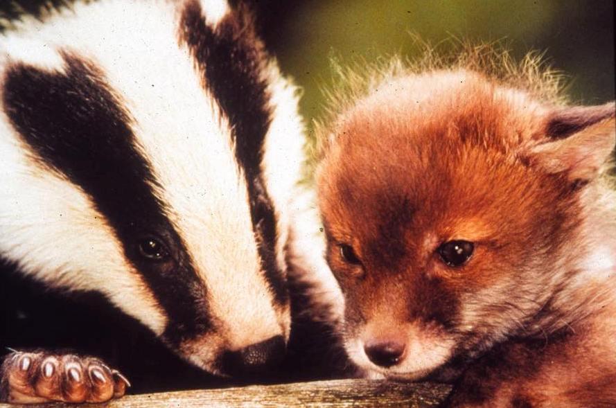 FOX - BADGER