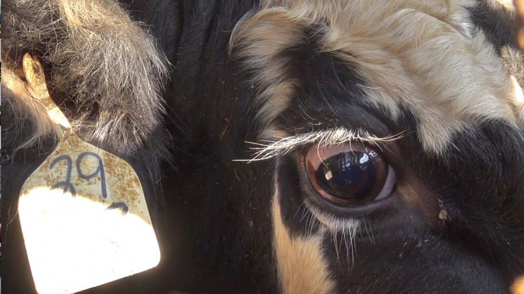 COWS  - EYE 3