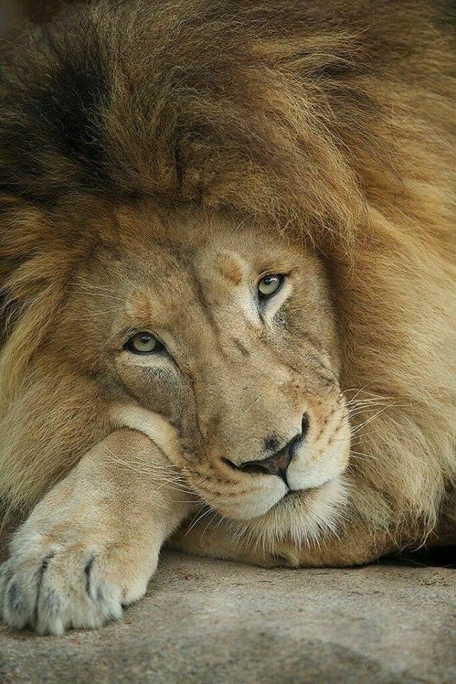 LION - CEC IL - BEAUTY