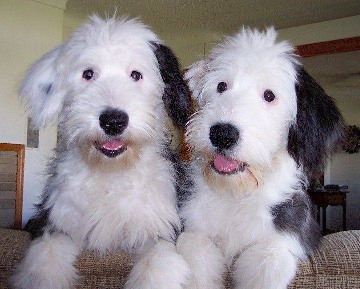 DOGS - TWINS