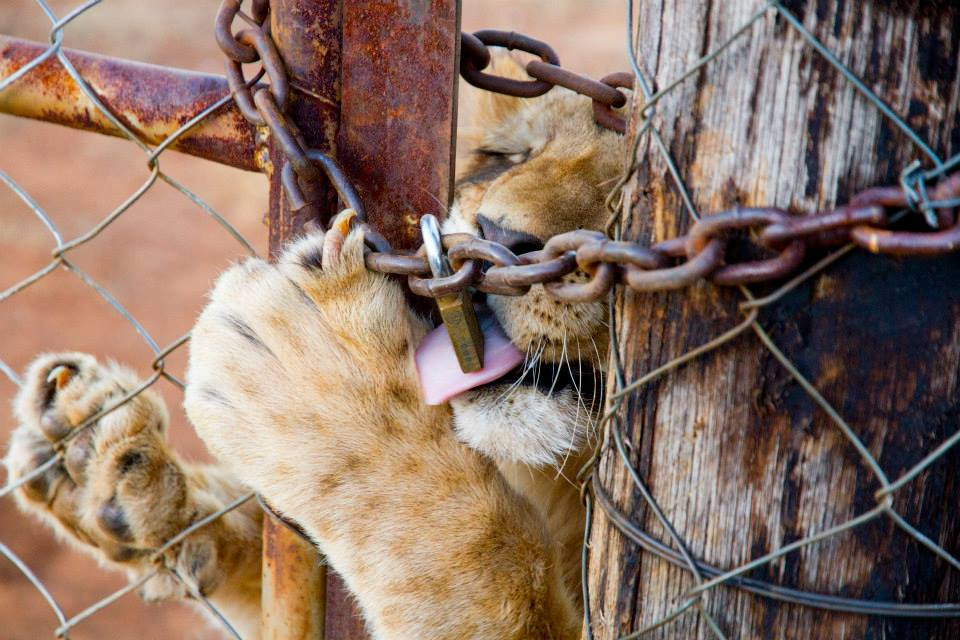 LION - CUB - LOCKED