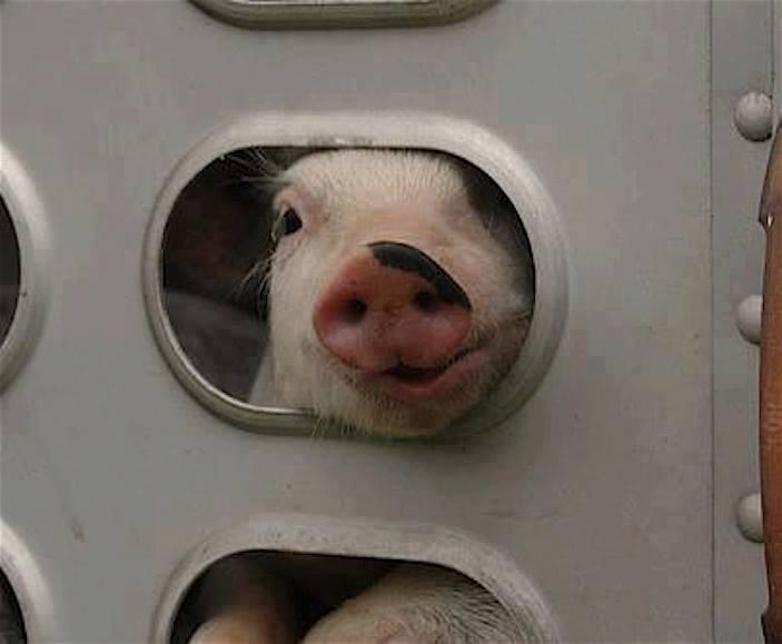 PIG 35