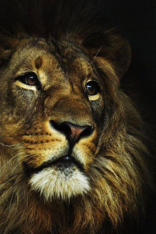 LION - MAJESTIC