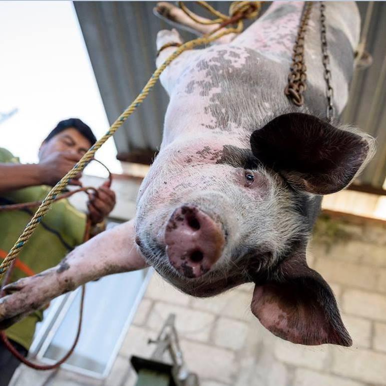 PIG - HUMAN