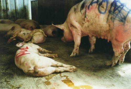 PIG - HUMANE