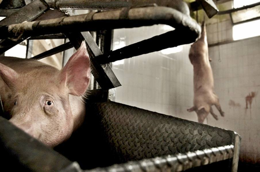 PIG - SAD 3