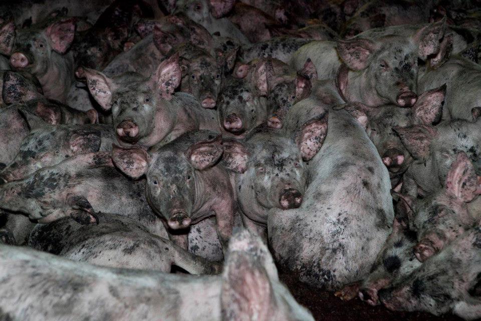 PIGS - CRUEL