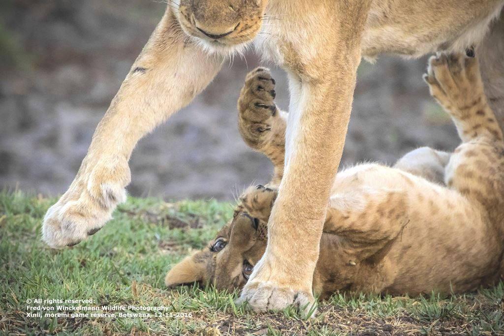 FRED - CUB PLAY WITH MOM