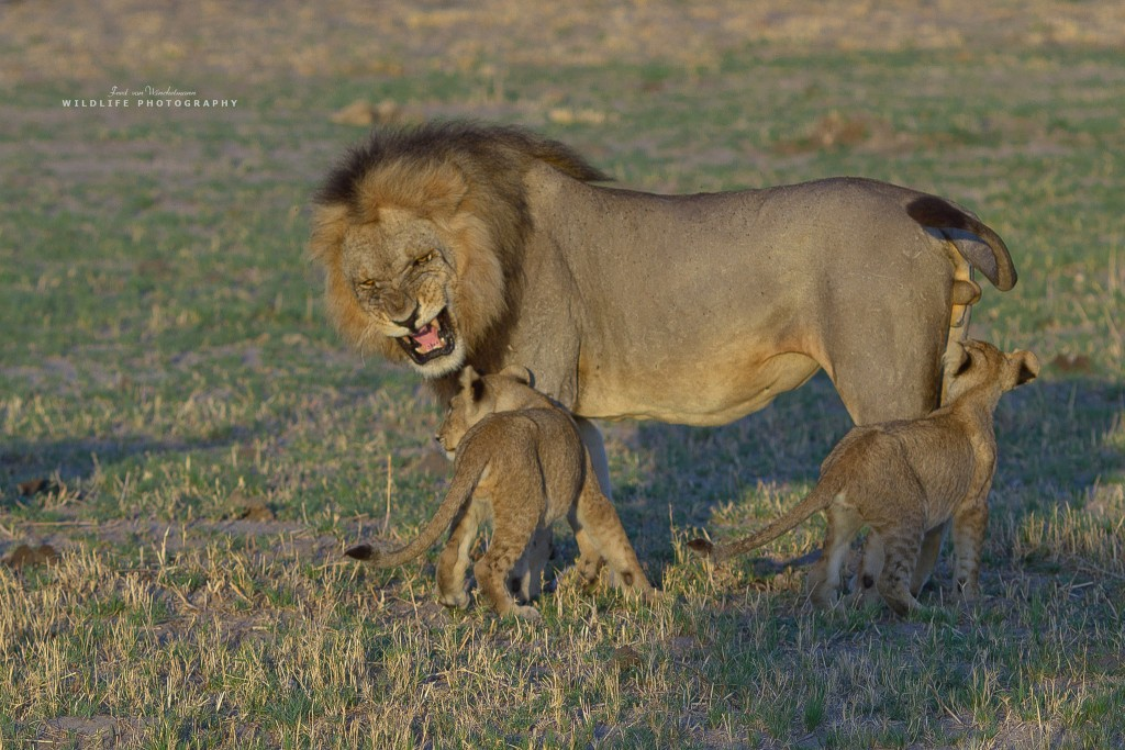 FRED - MALE WITH CUBS